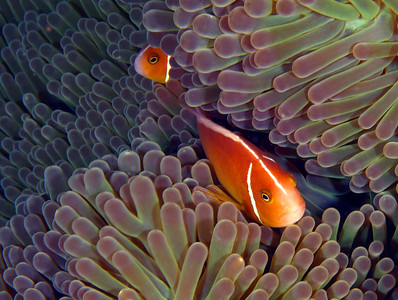 peter gallup orangefin anemonefish austrailia, great barrier reef oly 330