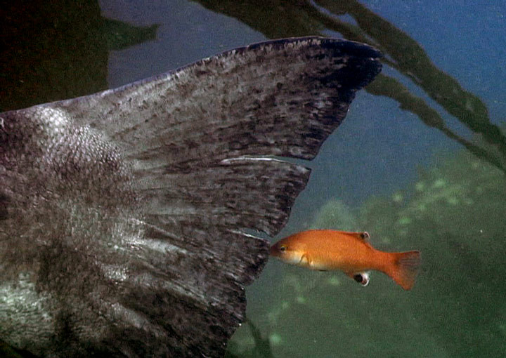 walter marti<br /> italian gardens, catalina <br /> baby sheephead cleaning a giant sea bass<br /> video still