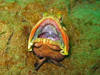 Dana Rodda La Jolla Shores, Vallecitos Point, San Diego, CA Sarcastic Fringehead (Neoclinus blanchardi), showing of it's true colors Canon Powershot A570IS with Canon housing, internal strobe