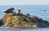 "Scott Gietler<br /> Harbor Seals<br /> Malibu, CA august 5th<br /> nikon d300, 80-400mm lens<br /> ""we call these guys the fatties"". I see them out all the time. I had to put on my booties and swimsuit and wade into the water to get closer."