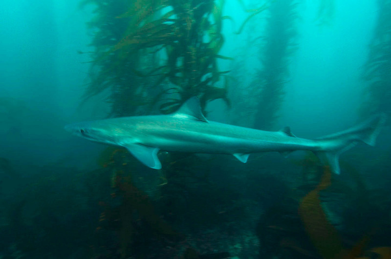 Kyle Newton<br /> Soupfin Shark, also called Tope Shark<br /> LaJolla Cove<br /> July 21, 2008<br /> Nikon D2x, 12-24mm