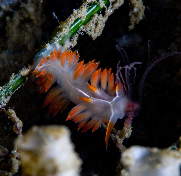 Allison Vitsky<br /> Flabellina trilineata snacking on a tasty hydroid<br /> LaJolla Shores, Vallecitos Point<br /> Canon 20D, 60 mm macro lens, dual Ikelite DS125 strobes