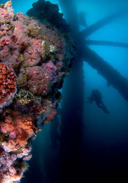 Allison Vitsky<br /> Saturday, October 11<br /> Ellie oil rig<br /> <br /> Growth on the Ellie cross-beams - strawberry anemones, mussels, and metridium anemones with UW photographer Kevin Lee <br /> <br /> silhouetted in the background.  <br /> <br /> Canon Eos 20D, Tokina 10-17 mm lens at 10 mm, dual Ikelite DS125 strobes.<br /> <br /> The wind and surface swell on Saturday certainly did not foreshadow the amazing conditions underwater!  What an amazing <br /> <br /> day.