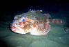 walt conklin<br /> 10-08-08 Redondo Beach Canyon 35'Sea & Sea DX80000G  internal strobe<br /> Scorpionfish