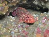 Joshua ChristensenRainbow Scorpionfish (Scorpaenodes xyris)<br /> Sea Fan Grotto, Catalina IslandOly 5060, Oly housing, Built in flash