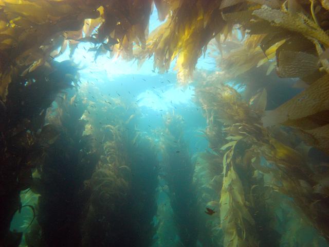 sean snyder<br /> kelp shot<br /> Dx1g at Bird Rock on Saturday 9/13/08