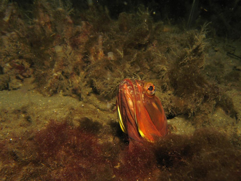 Kalani patterson<br /> sarcastic fringehead<br /> point loma oct 19th<br /> canon S80, inon strobe
