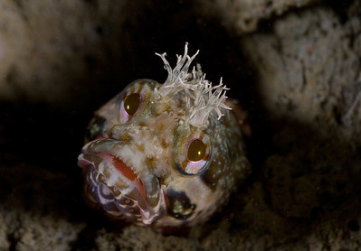 Allison Vitsky Yellowfin fringehead Saturday, October 18 La Jolla Shores, Main Wall Canon 20D, 60 mm lens, Macro Mate Diopter