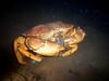 Walt Conklin<br /> Sea & Sea DX8000G internal strobe10/15/08 Redondo Beach 93' 60 degrees<br /> The squid are in the canyon, mmm...