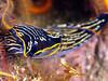 Peter Gallup<br /> Navanax<br /> Anacapa Island 8-31-08  Linda Blanchard Birthday Dive<br /> Olympus e 410 50mm macro twin Ikelite 125's