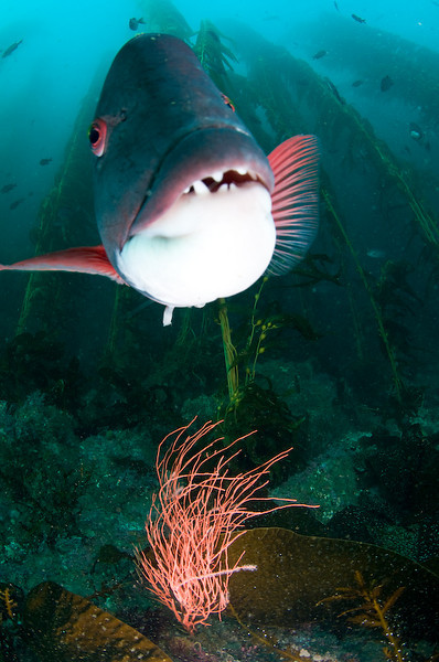 mike bartick<br />  Sheephead at anacapa, looking at itslef in the reflection of my dome port. I opened it all the way to get some drama out of the kelp... Tokina 10-17Nikon D300, dual strobes