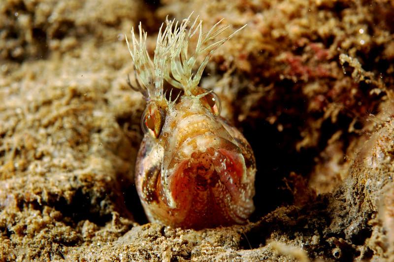 tracy clark<br /> Yellowfin FringeheadLa Jolla ShoresNikon D70s60 mm lensSea & Sea HousingDual Sea & Sea 110 strobes