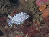 wendy taylor<br /> Tritonia festiva, 10/21, Lazy Daze San Diego, D300, S&S housing, 60mm, a first for me capturing this particular nudibranch