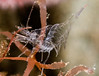 Scott gietler<br /> clear shrimp<br /> la jolla shores, oct 23rd, at dusk<br /> nikon d300, 60mm + 1.4x, dual strobes