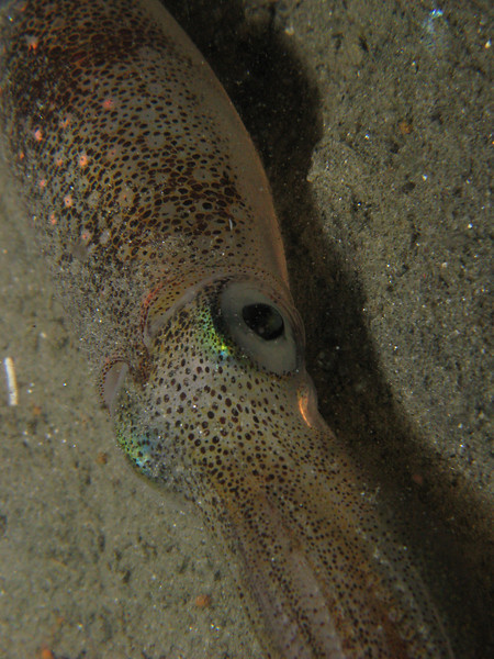 "Dana Rodda<br /> California Market Squid (Loligo opalescens)<br /> October 30, 2008, Redondo Beach – Veteran's Park, approx 70 ft<br /> Canon Powershot 570IS, Inon Z240 strobe<br /> We watched this squid plant three egg sacs in the ""basket""!  Poor critter looked exhausted!"