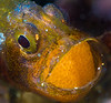 mike bartick<br /> cardinalfish brooding with eggs<br /> anilao, phillipines<br /> nikon d300, dual strobes, 60mm lens + 1.4 tele