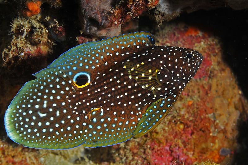 scott gietler<br /> young comet fish <br /> Anilao, phillipines<br /> D300, 60mm + 1.4tele, dual strobes