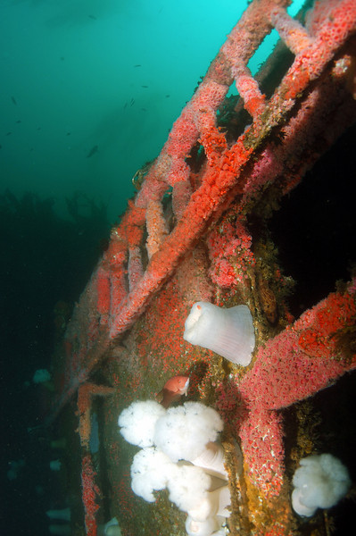 Linda Blanchard<br /> Wreck of the Yukon<br /> November 1, 2008<br /> San Diego<br /> Nikon D100 in Sea and Sea housing with 16 mm fisheye lens<br /> duel Sea and Sea YS90 strobes<br /> I had not been on the Yukon in years, it is really covered with anemones now