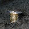 kevin lee<br /> bobbit worm, lunging up<br /> anilao, phillipines<br /> d200, 60mm lens + 1.4tele, dual strobes