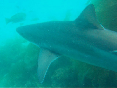 Scott Gietler Soupfin Shark, aka Tope Shark Catalina, June 30th still from video while freediving, Fuji F10