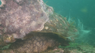 Walter marti  wavy turban top snail spawning Shaw's Cove Still from video