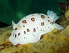 Leopard dorid, This is the northwest coloration. In the pacific they are not as white and the spots take on a doughnut shape.