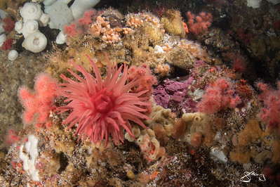 Crimson Anemone and so much more