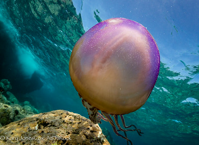 Pelagic Jellyfish