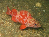 Vermillion rock fish