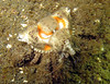 Golf ball crab