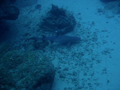 Pregnant Whitetipped Reef shark