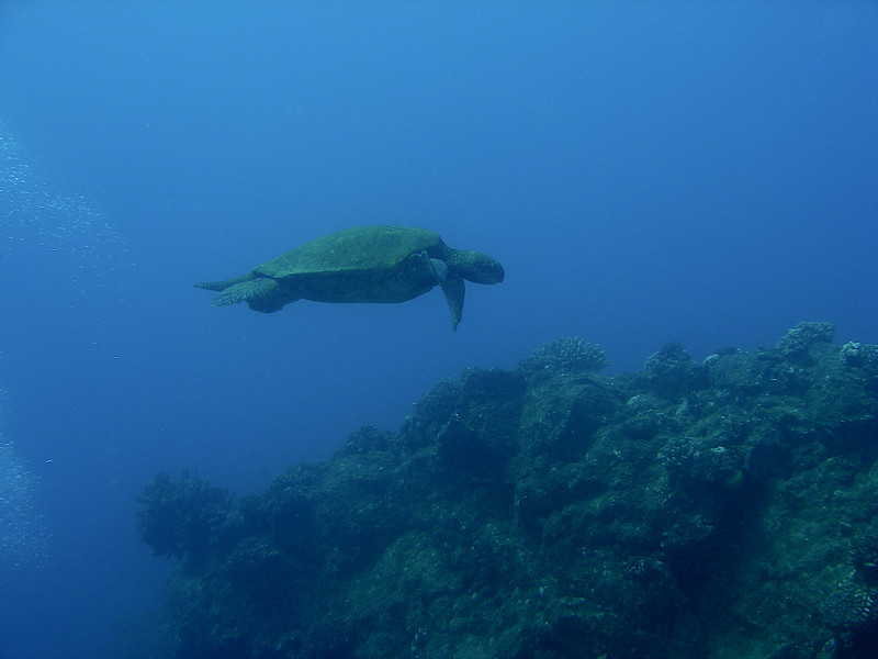 Honu cruises by into the blue