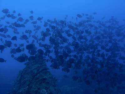 Whitebar Surgeonfish on a pinnacle