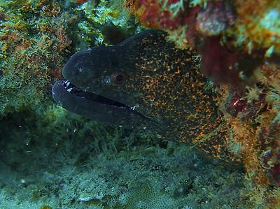 Moray Closeup