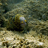 Mellow Snowflake Moray eel