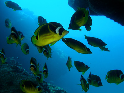 Racoon Butterflyfish bonanza