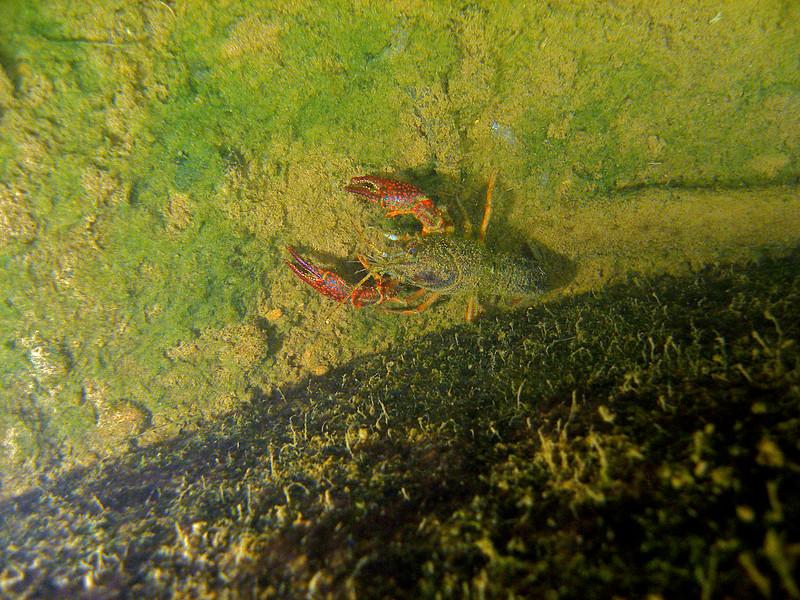 Red Swamp Crayfish 3