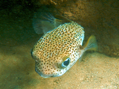 Porupine fish eyeying you up