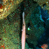Trumpet fish hanging in Kauai cave