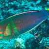 Yellowtail Coris (Coris gaimard)