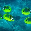 Racoon Butterflyfish (Chaetodon lunula)