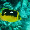 Fourspot Butterflyfish (Chaetodon quadrimaculatus)