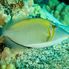 Whiteline Triggerfish (Sufflamen bursa)