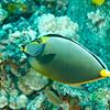 Orangespine Unicornfish (Naso lituratus)