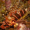 Hawaiian Red Lionfish (Pterois sphex)