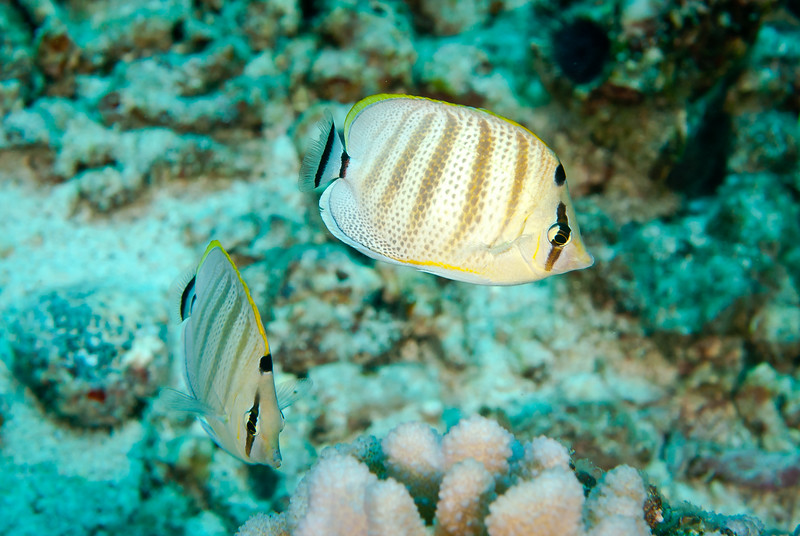 Pebbled Butterflyfish (Chaetodon multicinctus)