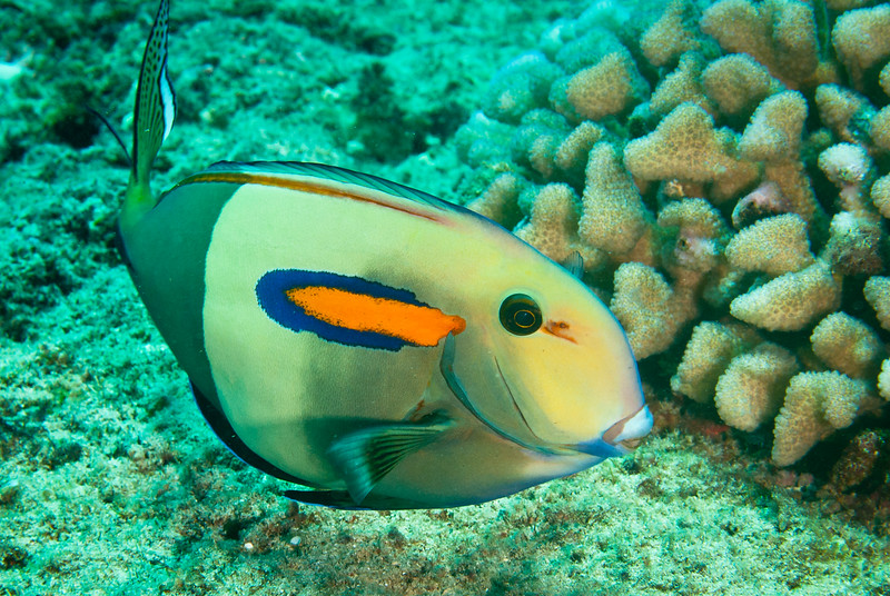 Orange Band Surgeonfish (Acanthurus olivaceus)