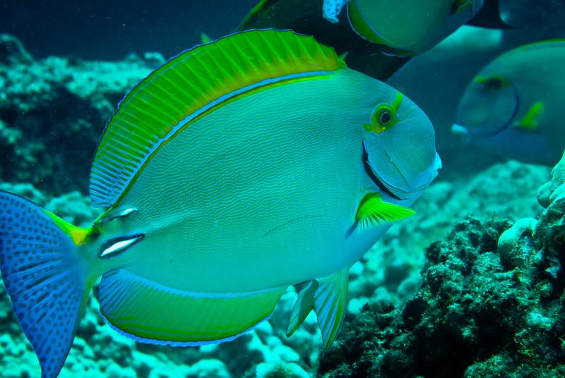 Eyestripe Surgeonfish (Acanthurus dussumieri)