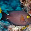 Goldring Surgeonfish (Ctenochaetus strigosus)