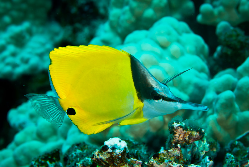 Froceps Butterflyfish (Forcipiger flavissimus)